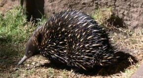 Echidna, a marsupial with a straw-like beak, hedgehog-like needles - Nature's whimsy?