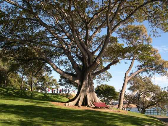This huge tree, thousands of years old, lives in Sydney.