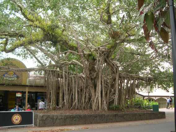 A huge aerial root system embraces this gigantic tree in Cairns.